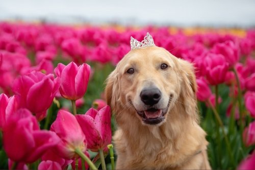 a dog wearing a crown in a field of tulips